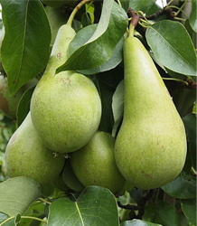 Pyrus Communis Conference-Pear Conference