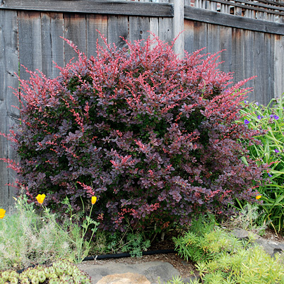 berberis thunbergii atropurpurea purple berberis. Black Bedroom Furniture Sets. Home Design Ideas