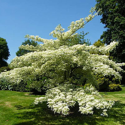 Cornus Controversa Variegata The Wedding Cake Tree