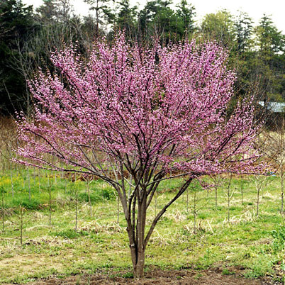 Cercis canadensis forest pansy hillside nurseries for Small specimen trees