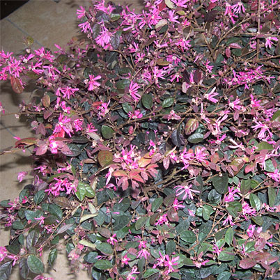 Loropetalum Chinence Chinese Witch Hazel