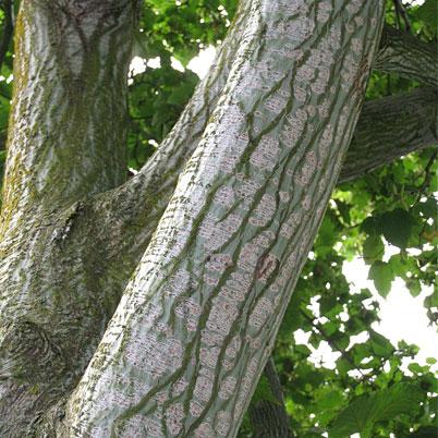 Acer Davidii Serpentine Snake Bark Maple Hillside Nurseries