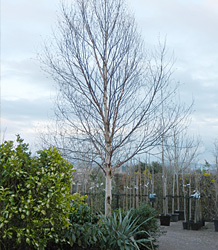 Betula Albosinensis Fascination